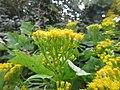 Plante grimpante inconnue à fleur jaune 3.jpg