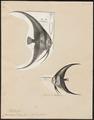 Platax teira - 1700-1880 - Print - Iconographia Zoologica - Special Collections University of Amsterdam - UBA01 IZ13500497.tif