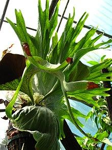 PLATYCERUM-----------TAMAÑO DE LA PLANTA COMO EN LA FOTO
