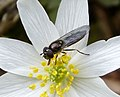 Platycheirus albimanus - Flickr - gailhampshire.jpg