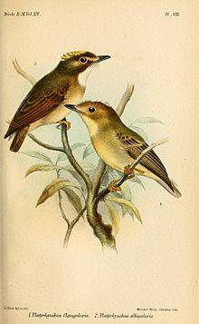 PlatyrhynchusSmit.jpg