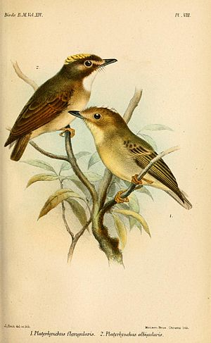 Yellow-throated spadebill - White-throated spadebill (above), and yellow-throated spadebill (below); illustration by Joseph Smit, 1888