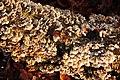 Plicatura crispa Syn. Plicaturopsis crispa (Crimped Gill, D= Krause oder Buchen-Adernzähling, F= plicature crispée, NL= Plooivlieswaaiertje) in full glory at a Beech trunk - panoramio.jpg