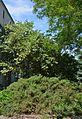 Plodove Novokahovka's Arboretum 20 (YDS 1107).jpg