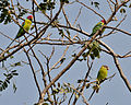 Plum-headed Parakeet (Psittacula cyanocephala) in Hyderabad W IMG 4647.jpg