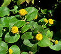 Podanthus ovatifolius 3.jpg