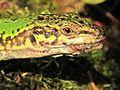 Podarcis siculus (Italian wall lizard), Nijmegen, the Netherlands.jpg