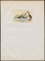 Podiceps nestor - 1845-1863 - Print - Iconographia Zoologica - Special Collections University of Amsterdam - UBA01 IZ17800093.tif