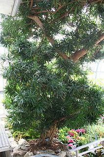 <i>Podocarpus macrophyllus</i> Species of conifer in the family Podocarpaceae