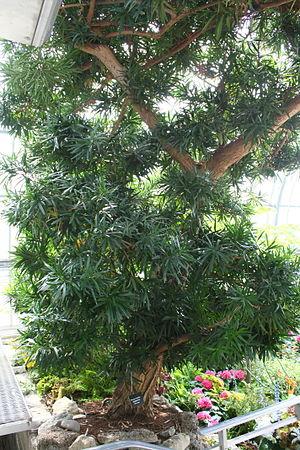 Podocarpus macrophyllus - Image: Podocarpus macrophyllus
