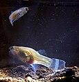 Poecilia retic 090519-8649 kdBdk.jpg