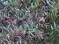 Polygonum persicaria1p.jpg