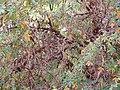 Polylepis australis leaves at Dundee Botanic Garden.jpg