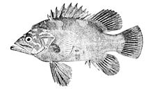 'n Illustrasie vanuit Oceanic Ichthyology deur G. Brown Goode en Tarleton H. Bean, gepubliseer in 1896.