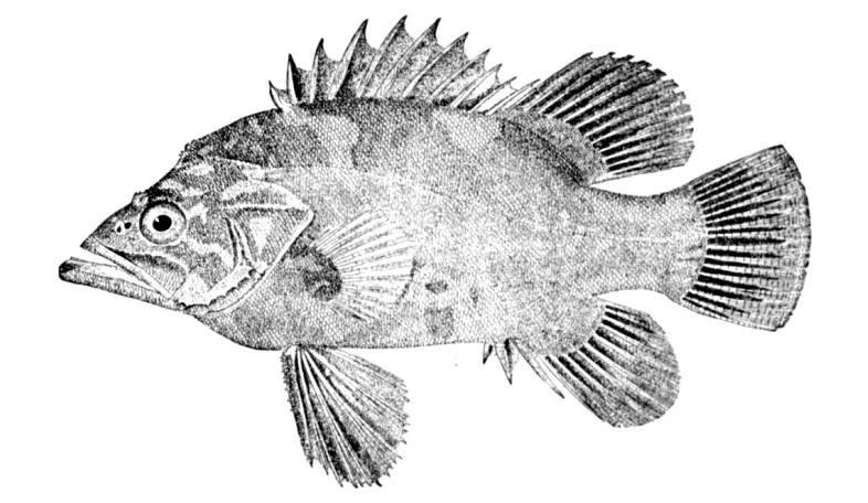 Polyprion americanus