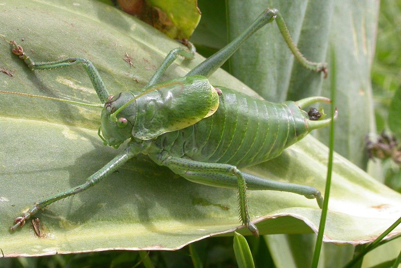 Wanstschrecke (Polysarcus denticauda)