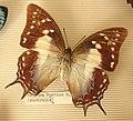 Polyura pyrrhus (Australie).JPG