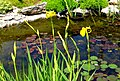 Pond flowers (3561628596).jpg
