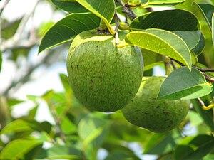 Annona glabra - Fruit