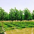 Poplar Trees - panoramio (4).jpg
