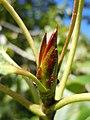 Populus balsamifera (5002985204).jpg