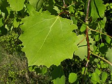 Foliage of Populus tremula