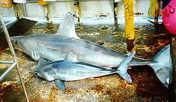 mako cápa csatlakozik