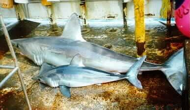 Two sharks lying on a boat deck, the one in front about half the size of the one in back but otherwise similar in appearance