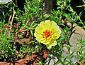 Portulaca grandiflora, Burdwan, 30032014 (2).jpg