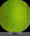 Potamogeton natans sl26.jpg