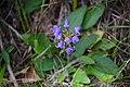Praktbrunört. Prunella grandiflora-0905 - Flickr - Ragnhild & Neil Crawford.jpg