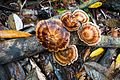 Pretty fungus in Borneo (27956473525).jpg