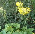 Primula florindae BotGardBln07122011C.jpg