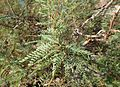 Prosopis glandulosa kz20.jpg