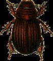 Psammodius sulcicollis Jacobson.png