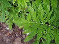 Psephellus pulcherrimus Chaber piękny 2015 02.jpg