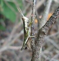 Pseudoxya diminuta (Walker, 1871) - Mindanao, Philippines.jpg