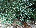 Psychotria capensis, lower, Krantzkloof NR.jpg