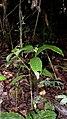 Psychotria racemosa Rich. (8852826338).jpg