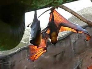 File:Pteropus vampyrus.ogv
