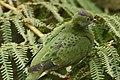 Ptilinopus superbus -Taronga Zoo, Sydney, Australia -female-8a.jpg