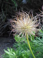 Pulsatilla vulgaris fruits02.jpg