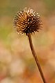 Purple Coneflower Echinacea purpurea Dried Flower Shallow 2000px.jpg