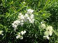 Pycnanthemum tenuifolium kz6.jpg