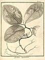 Quebitea guianensis Aublet 1775 pl 327.jpg