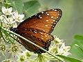 Queen (Milkweed Butterfly) San Pedro RNCA@ Fairbanks AZ 2018-08-08 11-23-36 (44383170441).jpg