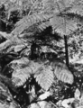 Queensland State Archives 876 Treeferns Fairyland Kuranda Cairns Railway North Queensland October 1927.png