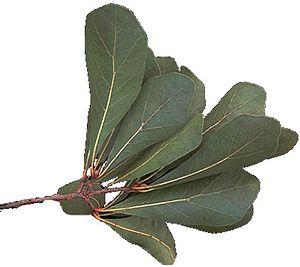 Quercus nigra - Water oak leaf cluster