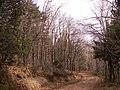 Quercus pyrenaica.jpg