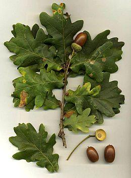 Quercus robur.jpg